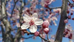 Árvore de cereja de florescência com flor cor-de-rosa foto de stock royalty free