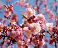 Árvore de cereja de florescência cor-de-rosa fotografia de stock royalty free