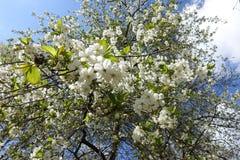 Árvore de cereja de florescência de baixo contra do céu fotografia de stock royalty free