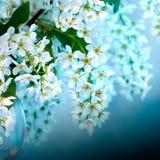Árvore de cereja de florescência do pássaro Imagens de Stock
