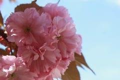 Árvore de cereja de florescência  Flores Foto de Stock