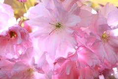 Árvore de cereja de florescência  Flores Foto de Stock Royalty Free