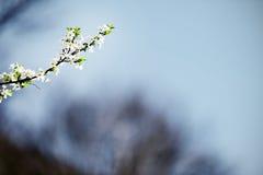 Árvore de cereja de florescência na primavera adiantada Fotografia de Stock Royalty Free
