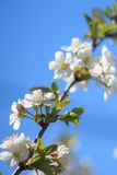 Árvore de cereja de florescência sobre o céu azul Fotos de Stock