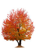 Árvore de cereja do outono isolada no branco Imagens de Stock