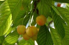 Árvore de cereja e pinturas da cereja, pinturas frescas da cereja em uma madeira da cereja da árvore de cereja e em uma tabela or Fotos de Stock