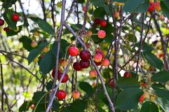 Árvore de cereja e pinturas da cereja, pinturas frescas da cereja em uma madeira da cereja da árvore de cereja e em uma tabela or Imagens de Stock Royalty Free