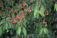 Árvore de cereja em fases diferentes da maturidade imagens de stock royalty free