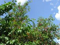 árvore de cereja em ramos do fundo do céu Frutos maduros da cereja fotografia de stock