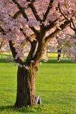Árvore de cereja em um parque Fotografia de Stock Royalty Free