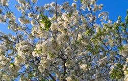 Árvore de cereja de florescência Fotografia de Stock
