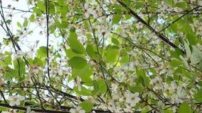 Árvore de cereja de florescência bonita no morno, luz do sol da mola vídeos de arquivo