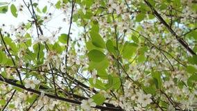 Árvore de cereja de florescência bonita no morno, luz do sol da mola filme