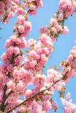 Árvore de cereja de florescência com as flores delicadas de terry Ramos de florescência cor-de-rosa do serrulata japonês Kanzan d foto de stock