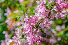 Árvore de cereja de florescência da mola Foto de Stock Royalty Free