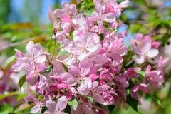 Árvore de cereja de florescência da mola Fotografia de Stock Royalty Free