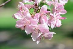 Árvore de cereja de florescência da mola Imagens de Stock Royalty Free
