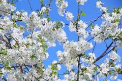 Árvore de cereja de florescência Flores brancas Fotos de Stock