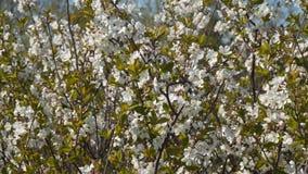 Árvore de cereja de florescência vídeos de arquivo
