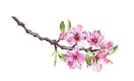 Árvore de cereja de florescência A maçã cor-de-rosa floresce, sakura, flores da amêndoa no ramo de florescência watercolor fotos de stock