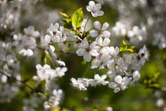 Árvore de cereja de florescência na mola imagens de stock