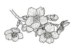 Árvore de cereja de florescência sakura fotografia de stock royalty free