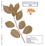 Árvore de cereja isolada Imagens de Stock Royalty Free