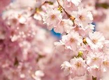 Árvore de cereja japonesa Fotografia de Stock Royalty Free