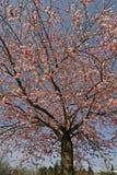 Árvore de cereja japonesa na mola foto de stock royalty free