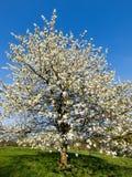 Árvore de cereja na flor Foto de Stock Royalty Free