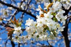 Árvore de cereja na flor Imagens de Stock