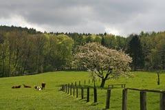 Árvore de cereja na mola com vacas, Alemanha imagens de stock