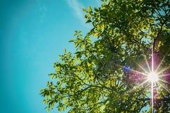 Árvore de cereja nos raios do sol Fotografia de Stock