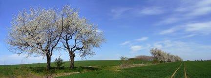 Árvore de cereja - panorama Fotos de Stock Royalty Free