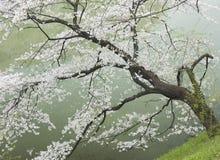 Árvore de cereja pelo rio Fotografia de Stock