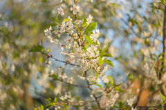 Árvore de cereja que floresce na mola Fundo borrado sumário com céu azul imagem de stock
