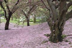 Árvore de cereja (sargentii do Prunus) Fotografia de Stock