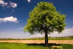 Árvore de cereja verde fresca na mola Imagens de Stock