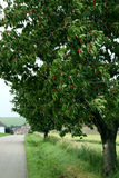 Árvore de cerejas foto de stock