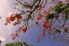 A árvore de chama floresce a florescência no verão com o céu azul claro Imagens de Stock Royalty Free