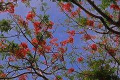 A árvore de chama floresce a florescência no verão com o céu azul claro Imagem de Stock