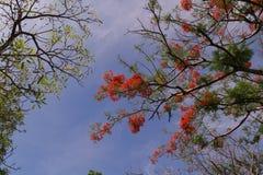 A árvore de chama floresce a florescência no verão com o céu azul claro Foto de Stock Royalty Free