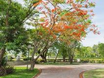 Árvore de chama ou árvore real de Poinciana Fotografia de Stock Royalty Free