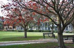 Árvore de chama que floresce em um parque Fotos de Stock Royalty Free