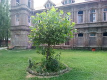 Árvore de Chinar - a árvore faladora de kashmir imagens de stock