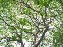 Árvore de chuva Imagens de Stock Royalty Free