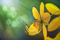 Árvore de chuveiro dourado imagem de stock royalty free