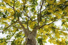 Árvore de chuveiro dourado Fotografia de Stock Royalty Free