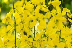 Árvore de chuveiro dourado ou fístula da cássia Fotos de Stock