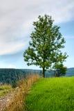 Árvore de cinza Foto de Stock